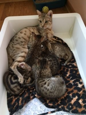 chi chi with 6 weeks old kittens upright