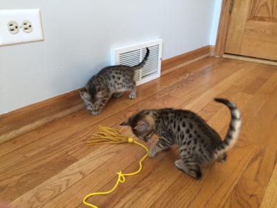 chi chi kittens f7 both