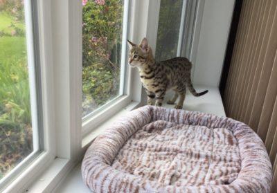 kitten window
