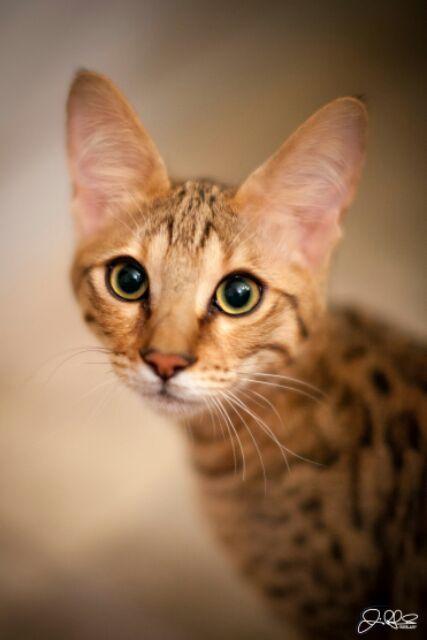 angel f3c male kitten